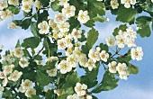 Weissdorn mit Blüten