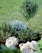Mini-Steingarten mit Lavendel, Rosmarin und Thymian