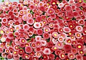 Pink Bellis (filling the picture)