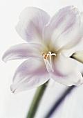 White Amaryllis on white background