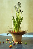 Easter arrangement of grape hyacinths and candle