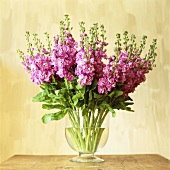 Bunch of pink stocks in vase
