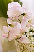 Pale pink sweet peas in vase