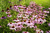 Purple coneflowers in the open air