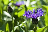 Perennial cornflowers in the open air