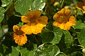 Yellow nasturtiums in the open air