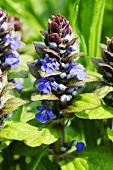 Bugle, flowering (close-up)