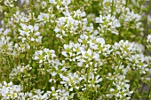 Flowering common scurvy grass in the open air