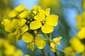 Erysimum crepidifolium, flowering