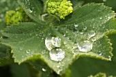 Gemeiner Frauenmantel (Blatt mit Wassertropfen, Blüte)
