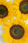 Three sunflowers (overhead view)