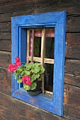 Pelargoniums on sill of blue-framed window of an old log cabin
