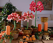 Amaryllis in terracotta pots with gold rims