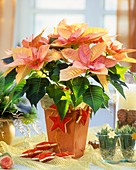Pink poinsettia 'Cortez Candy' with Advent decorations