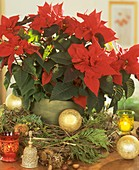 Poinsettia with wreath of Clematis vines & false cypress