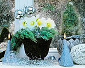 Winter decoration of Christmas roses and cypress
