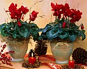 Cyclamen, ornamental asparagus, winterberry and pine cones