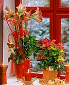 Amaryllis und Weihnachtsstern als Fensterdeko