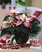 Weihnachtsstern 'Fantasiestern' (Euphorbia pulcherrima)