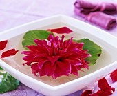 Pinky-red dahlia in water with Bergenia leaves