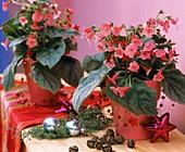 Kohlerien in rosa Töpfen, Baumschmuck