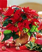 Weihnachtsstern der Sorte 'Cortez Fire'