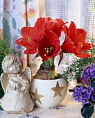 Amaryllis in a Christmassy cache-pot