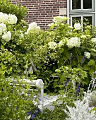Hydrangea 'Annabelle' in garden