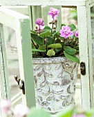 Saintpaulia 'Taita Safina' in flowerpot