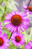 Echinacea, flowering