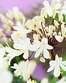 White lily of the Nile (Agapanthus white)