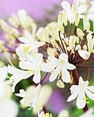weiße Schmucklilien (Agapanthus white)
