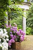 Hydrangea macrophylla 'Hamburg' in front of garden pavilion