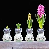 Hyacinths (Hyacinthus orientalis) from bud to flower