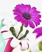 Cape daisy (Osteospermum) in specimen vase