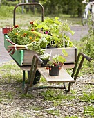 Plants for sale in wheelbarrow