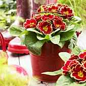Primulas ('Eclipse Red with Rim') in flowerpot, rubber boots in background