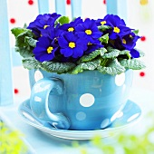 Primulas ('Salome Blue') in spotted cup and saucer