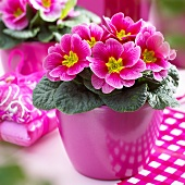 Primula 'Sphinx F1 Rose Shades' in flowerpot