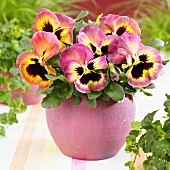 Pansy 'Goliath Peach Shades' in pink pot