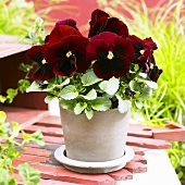 Pansy 'Goliath Red with Blotch' in flowerpot