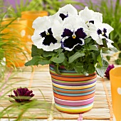 Pansy 'Goliath White with Blotch' in flowerpot