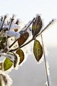 Ligusterzweige mit Frost