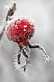 Rose hip with frost (close-up)