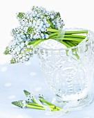 Grape hyacinths ('Ocean Magic') in crystal glass