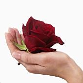 Hand hält rote Rose