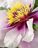 Paeonia suffruticosa 'Pink' (Peony)