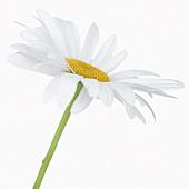 Shasta daisy 'Alaska'