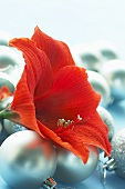 Red amaryllis flower on Christmas baubles