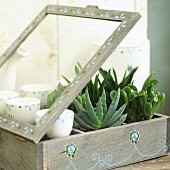 Various succulent plants in wooden case (from left: aloe and crassula)
